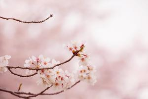 Spring Cherry Blossoms in Soft Spring Light by landio