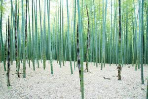 Young Bamboo Forest, with Some New Bamboo Shoots by landio