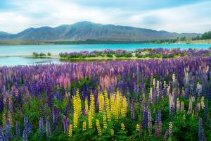 Landscape at Lake Tekapo and Lupin Field in New Zealand. Lupin Field at Lake Tekapo Hit Full Bloom