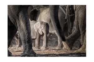 African Elephant Family by Lantern Press