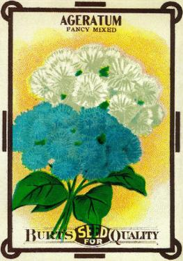 Ageratum Seed Packet by Lantern Press