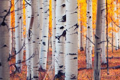 Aspen Forest by Lantern Press