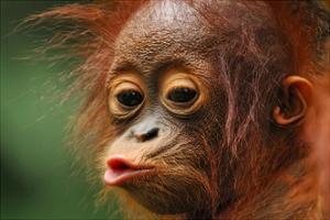 Baby Chimpanzee Kissing by Lantern Press