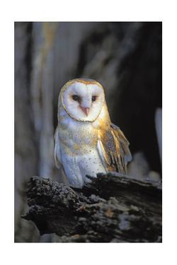 Barn Owl by Lantern Press
