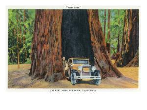 Big Basin, California - The Auto Tree by Lantern Press