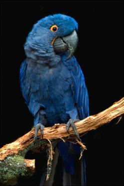 Blue Macaw by Lantern Press