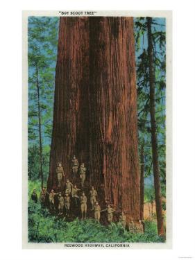 Boy Scout Tree on Redwood Highway - Redwoods, CA by Lantern Press