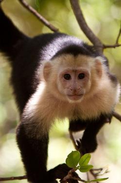 Capuchin Monkey by Lantern Press