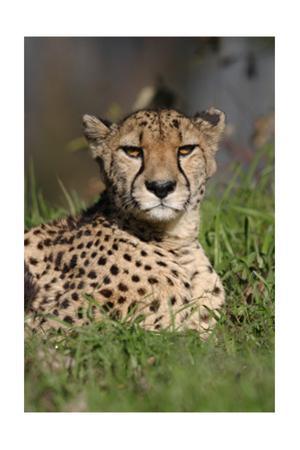 Cheetah in Grass by Lantern Press