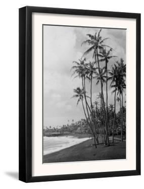 Coconut Palms - Hawaiian Islands Photograph by Lantern Press