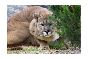 Cougar Crouching by Lantern Press