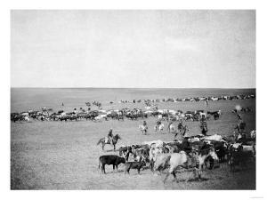 Cowboys with Cattle on the Range Photograph - Belle Fourche, SD by Lantern Press