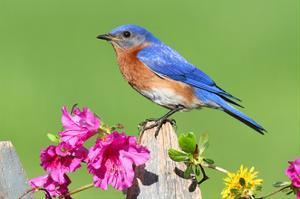 Eastern Bluebird by Lantern Press