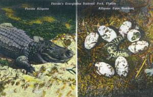 Everglades Nat'l Park, Florida - View of Alligator and Hatching Eggs by Lantern Press