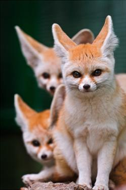 Fennec Foxes by Lantern Press