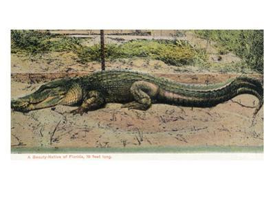 Florida - View of 19 Foot Long Alligator by Lantern Press