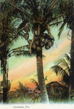 Florida - View of Coconuts in Tree by Lantern Press