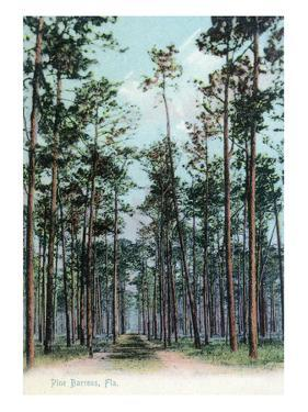 Florida - View of Pine Barrens by Lantern Press