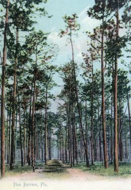 Florida - View of Pine Barrens by Lantern Press