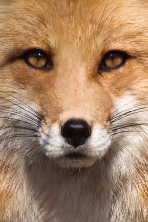 Fox Face by Lantern Press