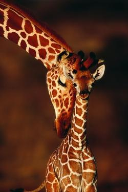 Giraffe and Baby by Lantern Press