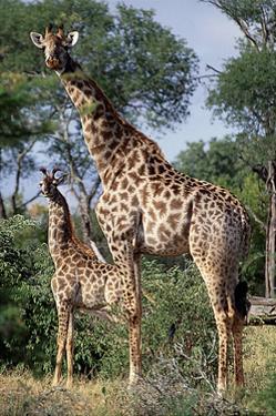 Giraffe and Baby by Lantern Press