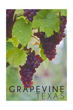 Grapevine, Texas - Wine Grapes on Vine #3 by Lantern Press