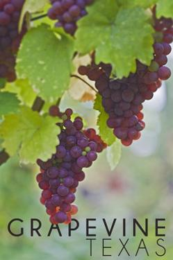 Grapevine, Texas - Wine Grapes on Vine #3 by Lantern Press