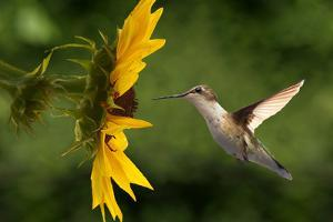 Hummingbird by Lantern Press