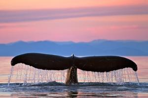 Humpback Fluke and Sunset by Lantern Press