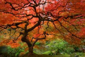 Japanese Maple by Lantern Press