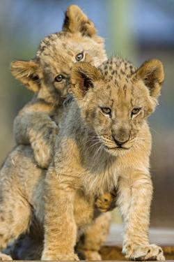 Lion Cubs Playing by Lantern Press