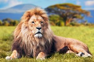 Lion by Lantern Press
