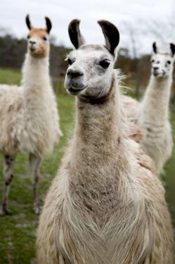 Llamas by Lantern Press