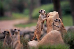 Meerkats Working by Lantern Press
