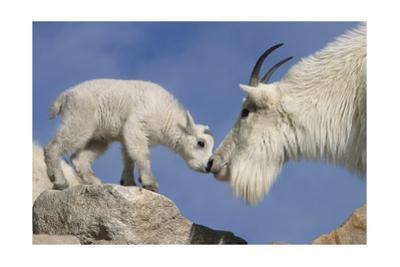 Mountain Goat and Kid by Lantern Press