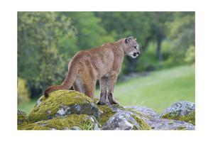Mountain Lion by Lantern Press