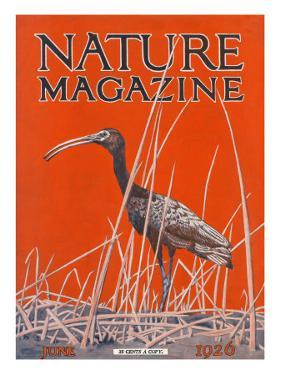 Nature Magazine - View of a Ibis in a Marsh, c.1926 by Lantern Press