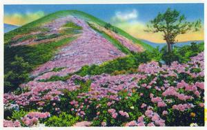 North Carolina - View of Purple Rhododendron in Bloom Near Blue Ridge Parkway by Lantern Press