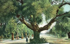 Pasadena, California - A Live Oak Tree on Orange Grove Avenue by Lantern Press