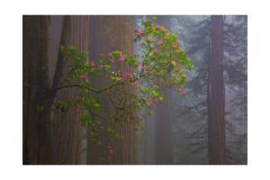 Redwood Forest by Lantern Press