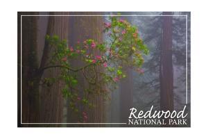 Redwood National Park - Forest Scene by Lantern Press