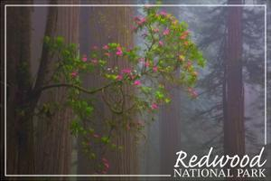 Redwood National Park - Forest Scene by Lantern Press