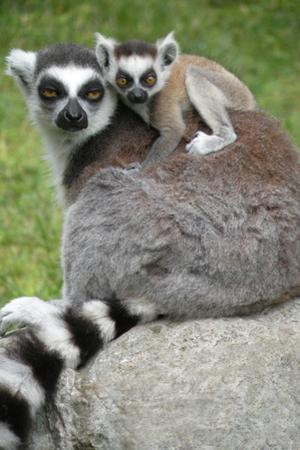Ring Tailed Lemur and Baby by Lantern Press