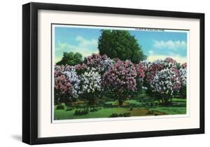 Rochester, New York - Highland Park Lilacs in Bloom by Lantern Press