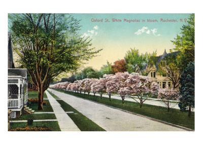 Rochester, New York - Oxford Street White Magnolias in Bloom