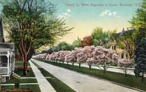 Rochester, New York - Oxford Street White Magnolias in Bloom by Lantern Press