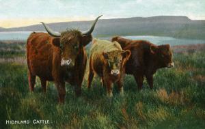 Scotland - View of Highland Cattle by Lantern Press