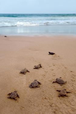 Sea Turtles Hatching by Lantern Press