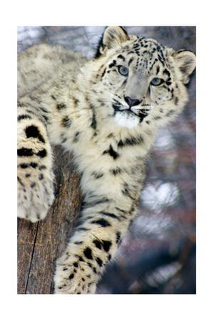 Snow Leopard by Lantern Press